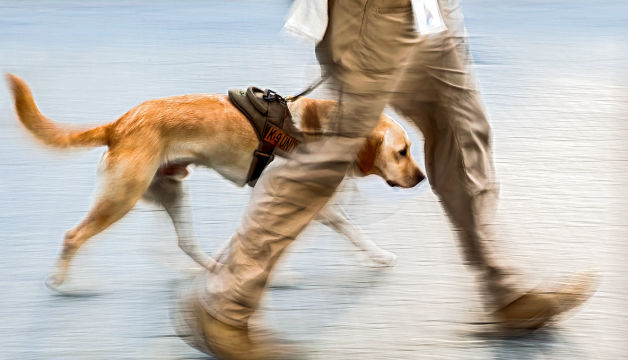 Training: cent and detection for Working dog, police, army (explosive, drugs, ivoiry...)